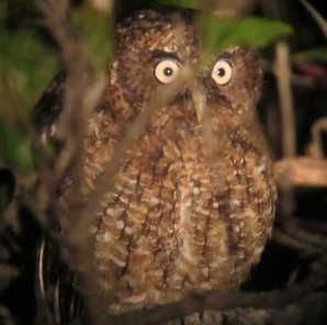 You might even see a Bare-shanked Screech Owl!