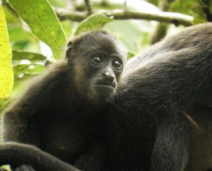 Howler Monkeys are seen in many parts of Costa Rica.