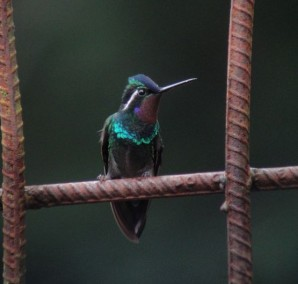 Male Purple-throated Mountain Gem.