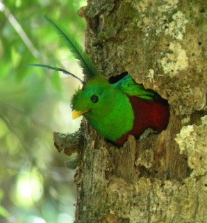 A male Resplendent Quetzal at a nesting site.