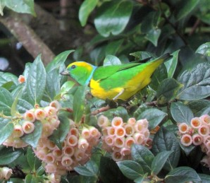 A male Golden-browed Chlorophonia from the Poas area.