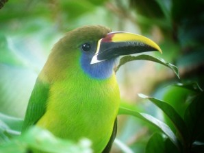 You might get close looks at an Emerald Toucanet- this one came to a feeder at the Cinchona Hummingbird Cafe.