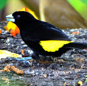 Flame-rumped Tanager.
