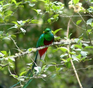 The incredible Resplendent Quetzal.