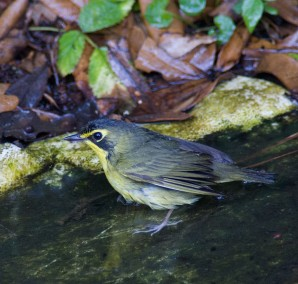 The Kentucky Warbler is one of many migrant bird species that has declined. Photo by Linda Scott.