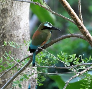 Another look at a Turquoise-browed Motmot.