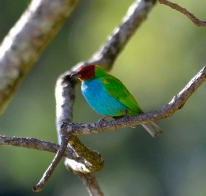 Bay-headed Tanager.