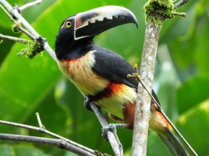 You might want to see a Collared Aracari.