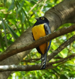 The Gartered Trogon is one of several beautiful trogon species that live in Costa Rica.