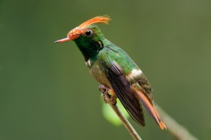 This image of Rufous-crested Coquette from Rafael Lau is on the app.
