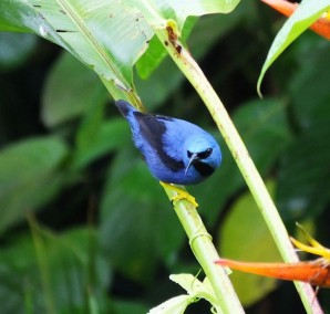 Male Shining Honeycreeper- one of several new images.