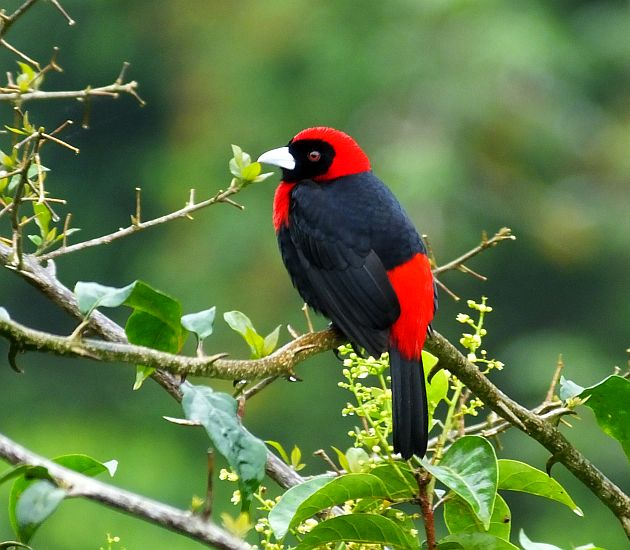 ... Birds Tanagers: some of the most beautiful birds in costa rica and