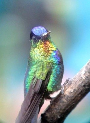 Fiery-throated Hummingbird.