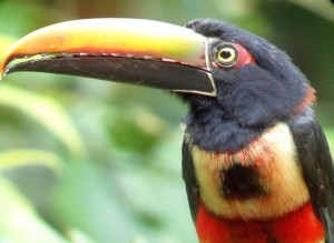 Fiery-billed Aracari