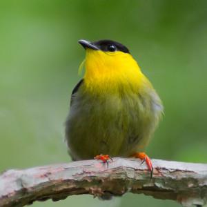 Golden-collared Manakin male-2