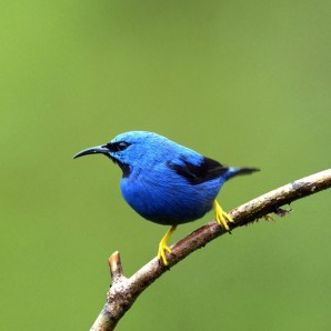 Shinning Honeycreeper 1