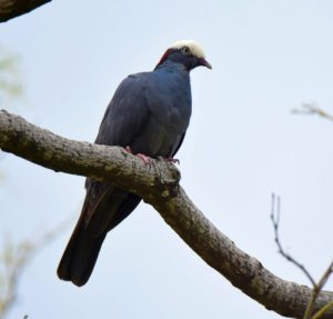 White-crowned Pigeon is now shown on the app. This image was taken by Cindy Beckman on one of her exciting Cheepers! Birding on a Budget tours.- http://www.cheepersbirding.com/