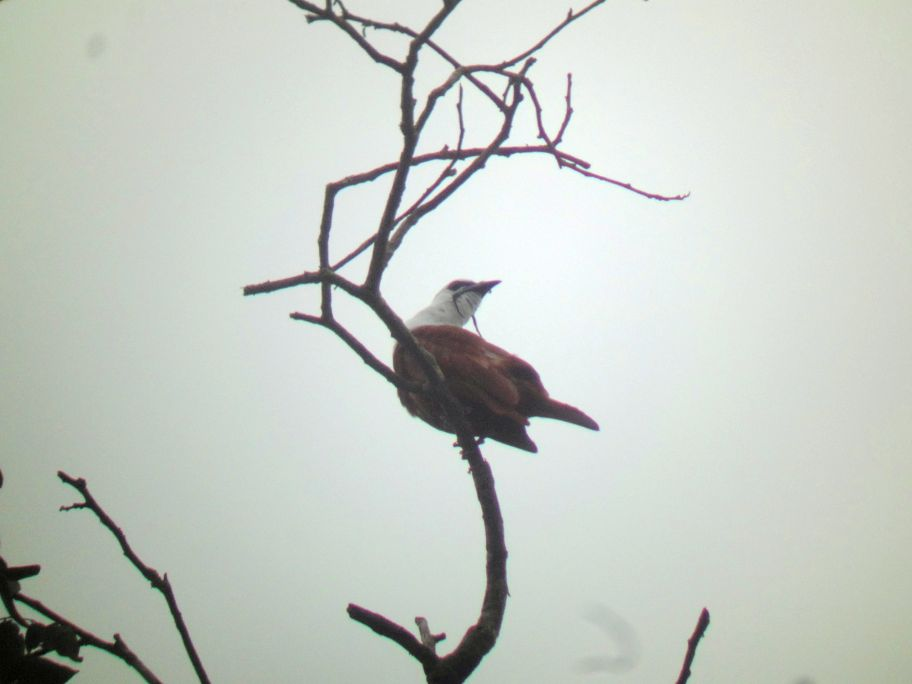 Experience the Three-wattled Bellbird on Your Trip to Costa Rica