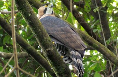 Insider Tips for Raptor Identification in Central America, Part Dos