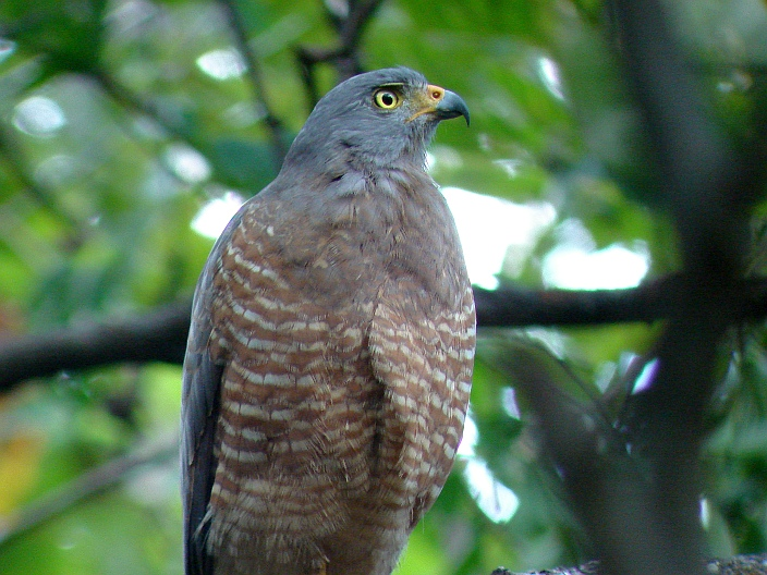 Insider Tips for Raptor Identification in Central America