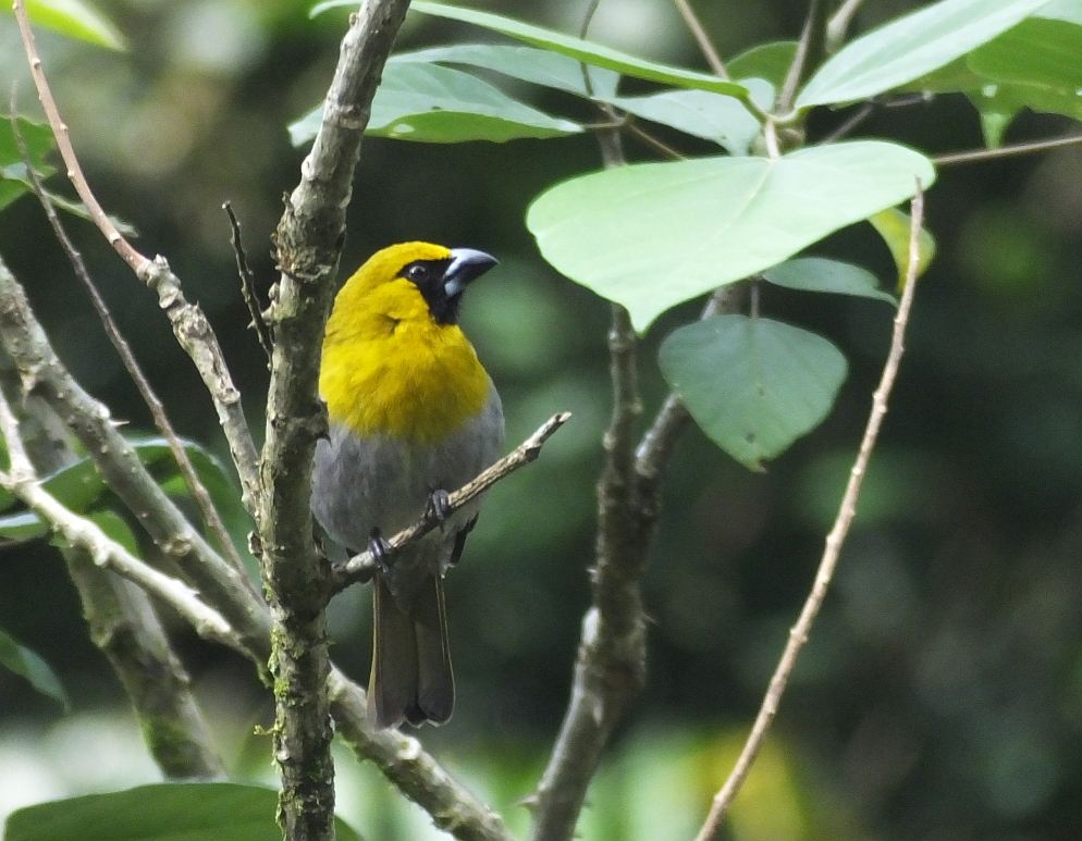 Tips for Birding Costa Rica and Other Tropical Places: the Mixed Flock