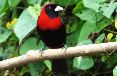 How to Prepare for a Birding Trip to Costa Rica with a Digital Field Guide