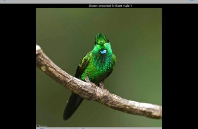A Dozen Common Fantastic Hummingbirds from Costa Rica